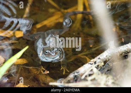 Moor frog, Rana arvalis, sitting in the water during mating season in spring - Stock Photo