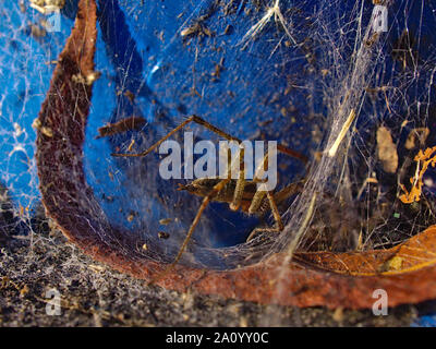 Grass spider (Agelenopsis spp.) doing some web housekeeping. Against the blue background of a metal bollard on the dock at Dow's Lake. Ottawa, ON. - Stock Photo
