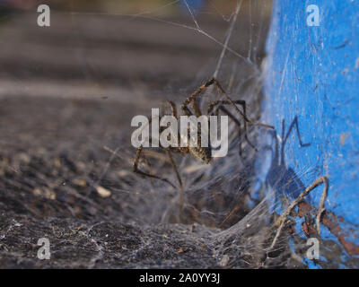 Rear view of a grass spider (Agelenopsis spp.) sunning itself on its web, early morning, on the dock at Dow's Lake, Ottawa, Ontario, Canada. - Stock Photo