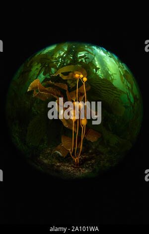 Controlled light illuminates a small area of kelp, highlighting the beauty of a dark forest of algae in California's Channel Islands. - Stock Photo