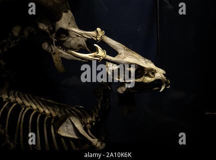 Mammal skeletons in anatomy laboratory, animals and symbols - Stock Photo