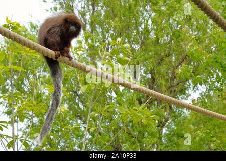 Red titi monkey climbing on a branch in natural habitat avifauna the netherlands - Stock Photo