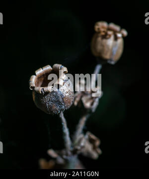 Empty seed case of a Red Campion Flower (Silene dioica) - Stock Photo