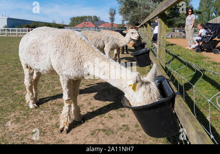 White Huacaya Alpacas (Vicugna pacos), a domestic alpaca, feeding at Dales Farm at Ferring Country Centre in Ferring, West Sussex, UK. - Stock Photo