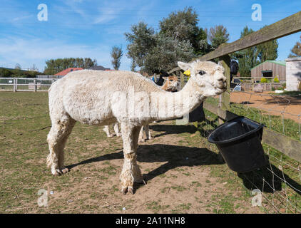 White Huacaya Alpaca (Vicugna pacos being fed at Dales Farm at Ferring Country Centre in Ferring, West Sussex, UK.