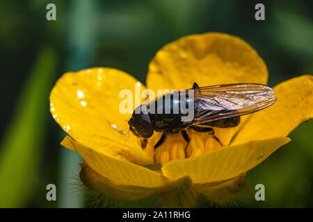 Small Hoverfly (Platycheirus albimanus) Feeding on Pollen From a Buttercup (Ranunculus repens) Flower in Spring. Hoverflies Are  Efficient Pollinators - Stock Photo