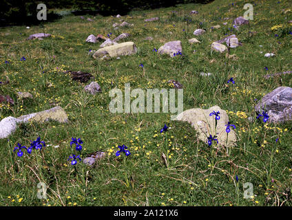 France.Dept Hautes-Pyrenees.Flowers on an alpine hillside.The main flower is the English Iris (.Iris latifolia) - Stock Photo