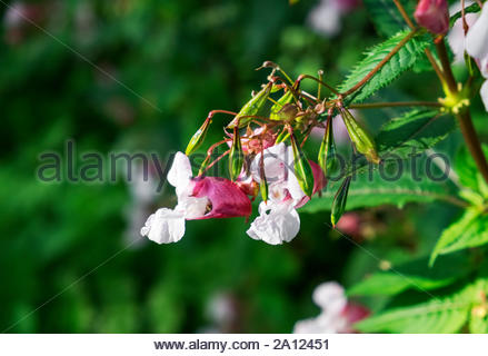 Impatiens glandulifera, known commonly as Himalayan balsam, jewelweed, Springkraut, etc., growing wild in northwestern Germany. Stock Photo