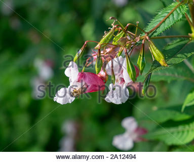 A honeybee works in Impatiens glandulifera, known commonly as Himalayan balsam, jewelweed, Springkraut, etc., growing wild in northwestern Germany. Stock Photo
