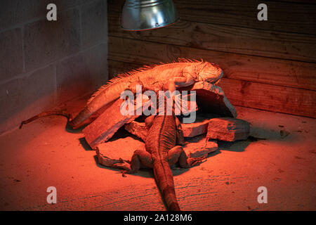 A pair of giant green iguanas enjoying time on a rock pile under a red basking light at a private zoo. - Stock Photo