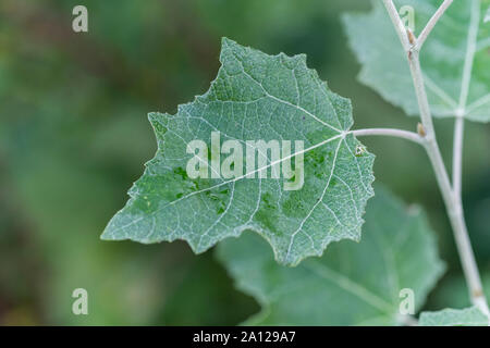 Young green-white foliage / leaf of White Poplar / Populus alba. Favours moist ground. Parts once used as medicinal plant in herbal cures. - Stock Photo
