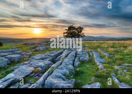 Sunset over a windswept Hawthorn tree growing out of a limestone pavement at Winskill in the Yorkshire Dales