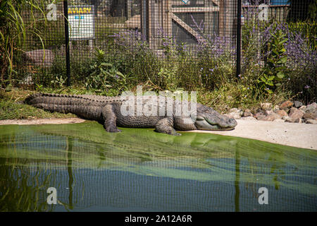 A huge American alligator basks in the sun away from the rest of the group at a private zoo in Michigan. - Stock Photo
