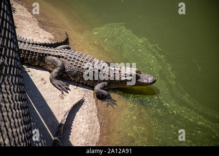 An American alligator on the edge of a pond at a private zoo in Michigan. - Stock Photo
