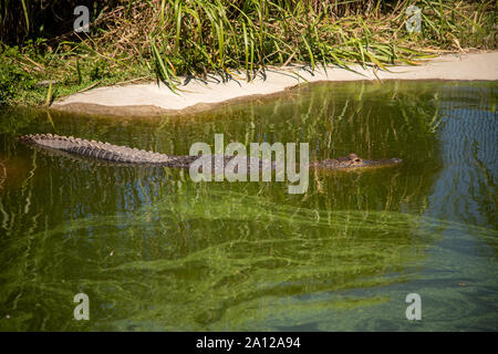 An American alligator partially submerged in a pond at a private zoo in Michigan. - Stock Photo