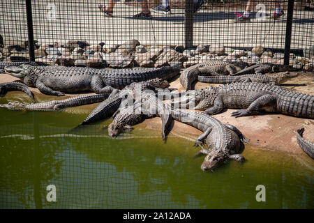 A congregation of American alligators resting next to a pond enclosure at a private zoo in Michigan. - Stock Photo