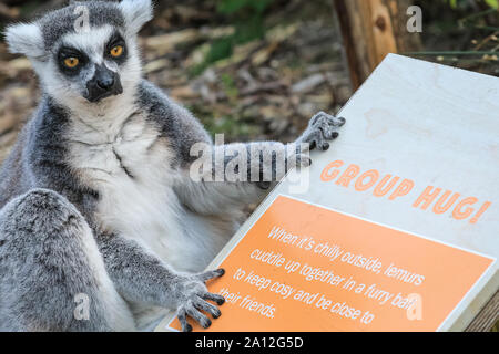 London, UK, 23rd Sep 2019. A cheeky ring-tailed lemur appears to patiently wait for a 'group hug', as announced on an educational information board. The all-male group of ring-tailed lemurs, distinctive because of their large bushy black-and-white striped tail, enjoy the warm sunshine in their outdoor enclosure. Credit: Imageplotter/Alamy Live News - Stock Photo