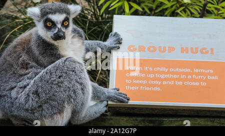 London, UK, 23rd Sep 2019. A cheeky ring-tailed lemur (lemur catta) appears to patiently wait for a 'group hug', as announced on an educational information board. The all-male group of ring-tailed lemurs, distinctive because of their large bushy black-and-white striped tail, enjoy the warm sunshine in their outdoor enclosure. Credit: Imageplotter/Alamy Live News - Stock Photo