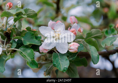 apple blossoms, tree branch with flowers, spring in the garden, against a background of green leaves, closeup - Stock Photo