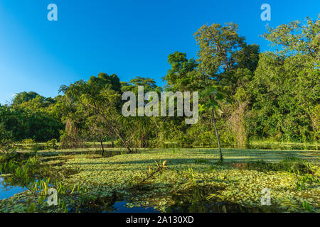 Brazilian rainforest at end of rainy season in  May, Mamirauá Sustainable Development Reserve, Rio Japurá,Tefé, state of Amazon, Brazil, Latin America - Stock Photo