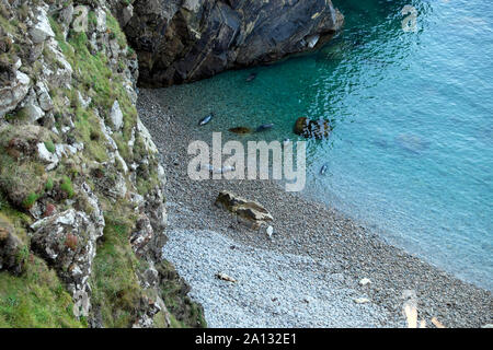 Atlantic grey baby seals & mothers Halichoerus grypus view from above on beach & in water near Martins Haven in Pembrokeshire Wales UK  KATHY DEWITT - Stock Photo