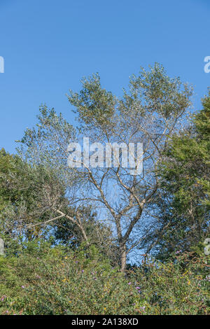 Green-white foliage / leaves of White Poplar tree / Populus alba against blue summer sky. Parts once used as medicinal plant for herbal cures. - Stock Photo