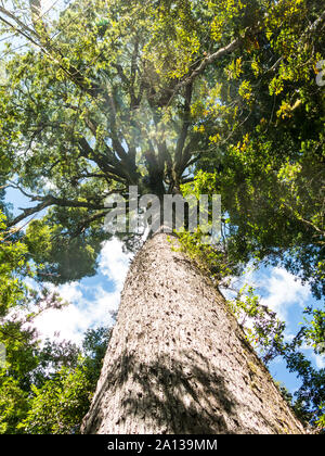 Nature walk in the Huilo Huilo Biological Reserve. It is a temperate humid forest with species such as Tepa, Coigue, Olivillo and Rauli renovales, Pan - Stock Photo