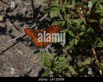 Mylitta crescent resting on thistle Union valley - Stock Photo