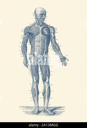 Vintage anatomy print showing a diagram of the human musculoskeletal system. - Stock Photo
