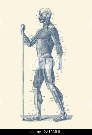 Vintage anatomy print showing a side view diagram of the human muscular system. - Stock Photo