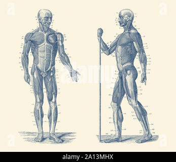 Vintage anatomy print showing a dual view diagram of the human musculoskeletal system. - Stock Photo