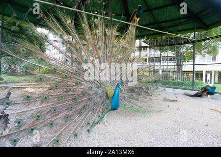 A proud peacock spreading its wings and feathers in an encapsulation cage of a zoo. - Stock Photo