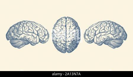 Vintage anatomy print showing three views of the human brain. - Stock Photo