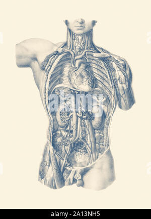 Vintage anatomy print of the interior venous and circulatory systems from the front view. - Stock Photo