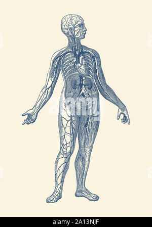 Vintage anatomy print of the human vascular system, with veins and heart. - Stock Photo
