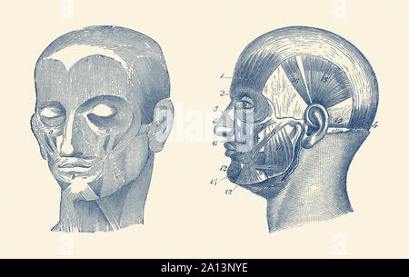 Vintage anatomy print showing a dual view of the human head muscles. - Stock Photo