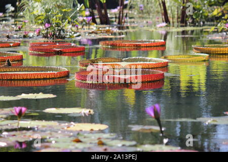 Green giant water lily pads growing in the pond, Victoria, Nymphaeaceae, Victoria amazonica, Euryale amazonica, Victoria regia