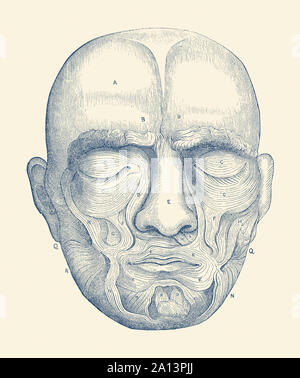 Vintage anatomy diagram of the muscles located within the human face. - Stock Photo
