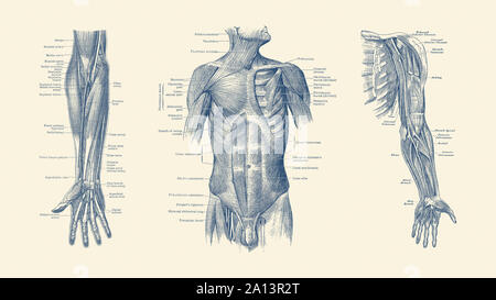 Diagram depicting the neck, chest, abdomen and pelvic regions of a male body. - Stock Photo