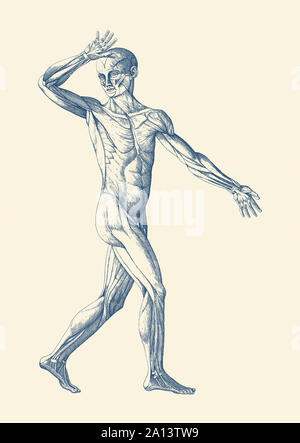 Vintage anatomy print features an artistic view of a moving muscular system. - Stock Photo