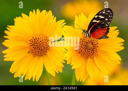 Closeup of yellow Mexican sunflowers with monarch butterfly standing on one of them. Monarch butterfly on yellow flower background. - Stock Photo