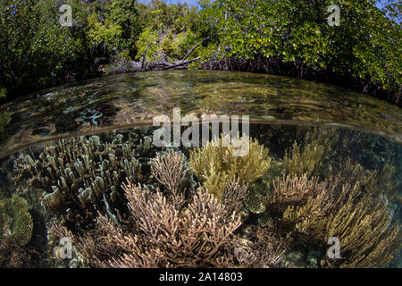 Healthy corals grow on the edge of a mangrove forest in Raja Ampat, Indonesia. - Stock Photo
