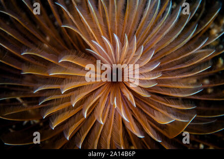 A beautiful feather duster worm spreads its feeding tentacles. - Stock Photo