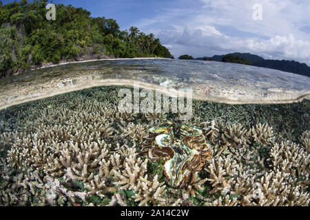 A giant clam, Tridacna squamosa, grows on a shallow coral reef. - Stock Photo