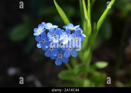 heart-shaped Myosotis alpestris or alpine forget-me-not, state flower of Alaska - Stock Photo