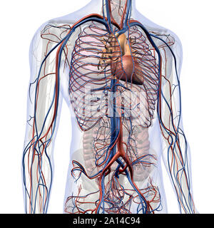 Male internal anatomy of heart and circulatory system in chest and abdomen. - Stock Photo