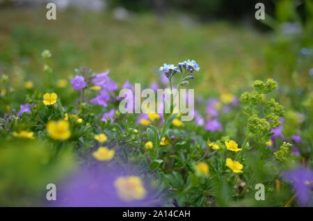 alpine meadow with myosotis alpestris or alpine forget-me-not, state flower of Alaska, and Ranunculus, or Buttercup - Stock Photo