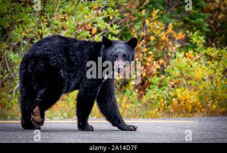 Black Bear on road Mt Rainier, Washington