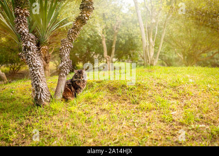A fluffy cat is sitting under a tree on a green lawn. The cat is sitting under a palm tree. The cat basks in the sun. - Stock Photo