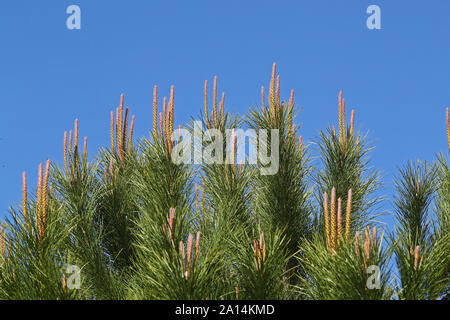 Mediterranean pine tree shoots or candles showing male and female flowers Latin pinus pinea also called umbrella, parasol or Italian stone pine - Stock Photo
